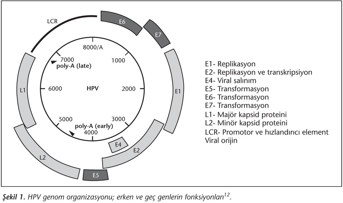 humán papillomavírus 6. genom genom konvízió után hpv gyógyulás