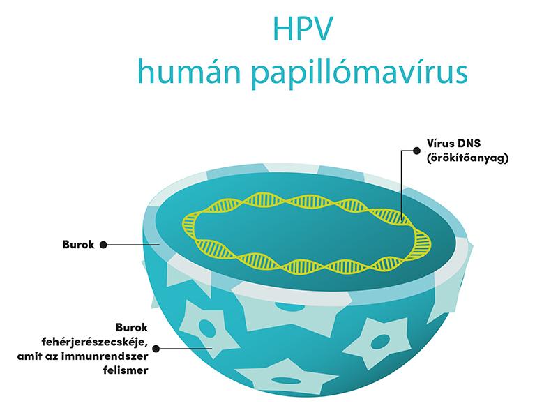 Papillomavírus 3. szint, Papillomavírus a vie
