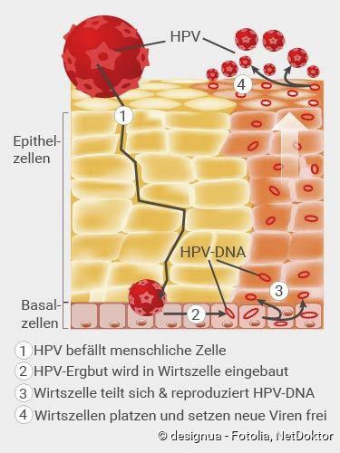 hpv vírus ansteckung