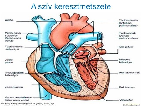 a féreg keringési rendszere a férgek tünetei az emberi testben