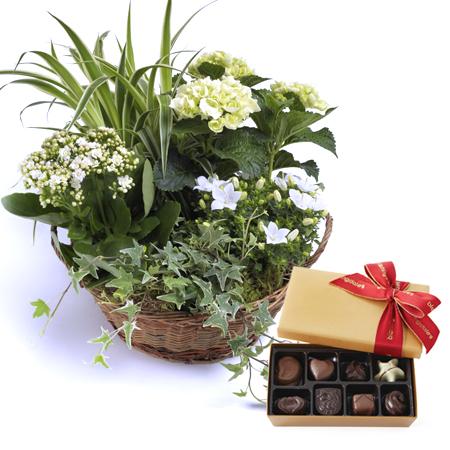 kerti csokoládé szemölcsök, mint veszélyesek
