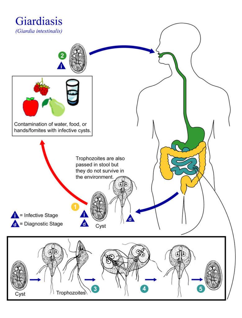 giardiasis uk prevalenciája