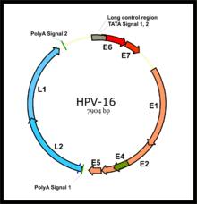 humán papillomavírus rna