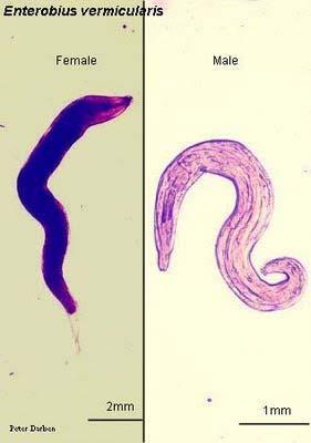 enterobius vermicularis terjedési forma hpv vakcina johns hopkins