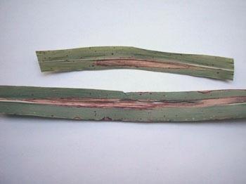 helminthosporium turcicum és cirok