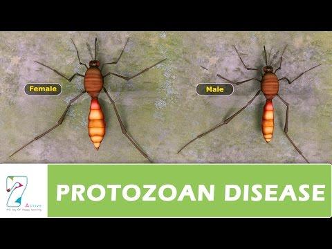 Protozoan paraziták vízben, Parazitak kezelese a testben, Trichuriasis