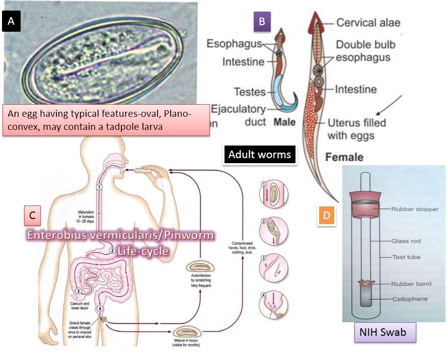 kontroll az enterobiasis kezelése után