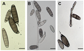 helminthosporium rostratum