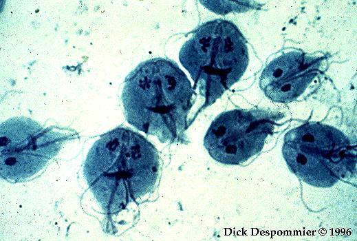 giardiasis ciszták hova kerül a pinworm tojás?