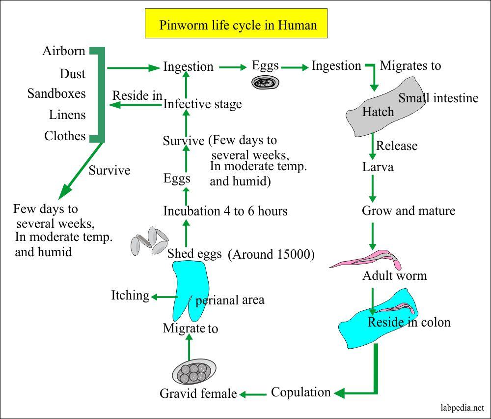 parazita pirulát vietnami gyógyszerek a parazitákra